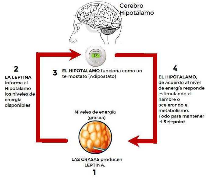 Leptina -e- Hipotálamo